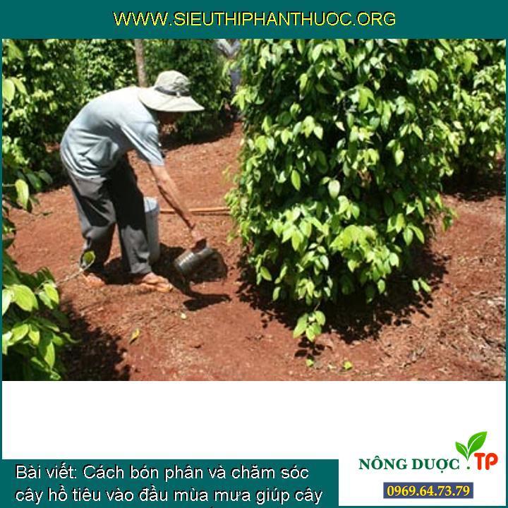 Cách bón phân và chăm sóc cây hồ tiêu vào đầu mùa mưa giúp cây khỏe mạnh, đạt năng suất cao