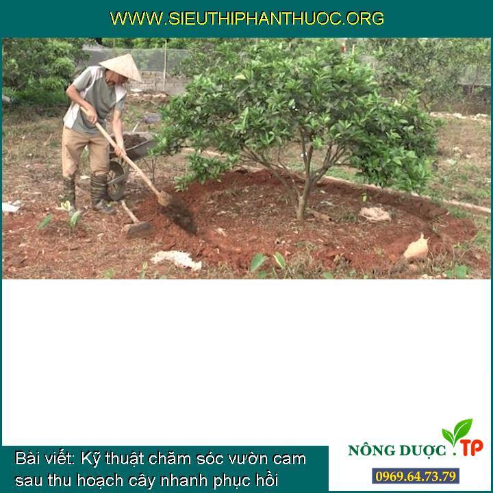 Kỹ thuật chăm sóc vườn cam sau thu hoạch cây nhanh phục hồi