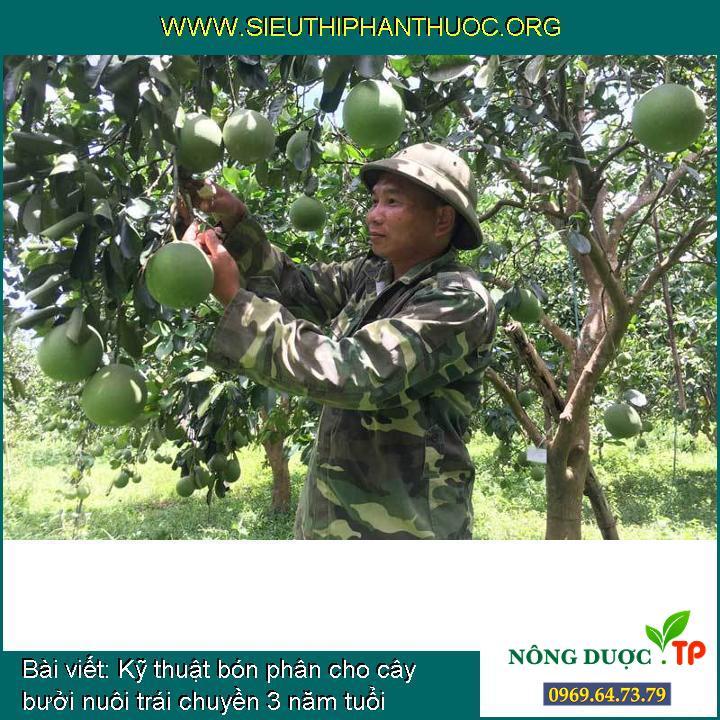 Kỹ thuật bón phân cho cây bưởi nuôi trái chuyền 3 năm tuổi