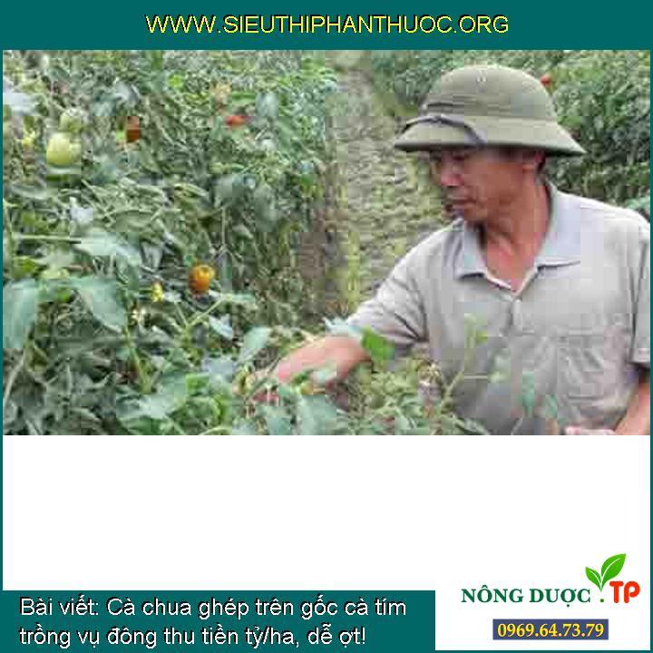 Cà chua ghép trên gốc cà tím trồng vụ đông thu tiền tỷ/ha, dễ ợt!