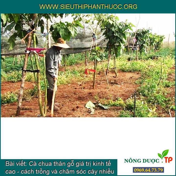 Cà chua thân gỗ giá trị kinh tế cao - cách trồng và chăm sóc cây nhiều quả