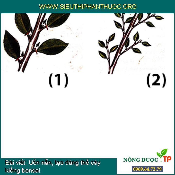 Uốn nẵn, tạo dáng thế cây kiểng bonsai