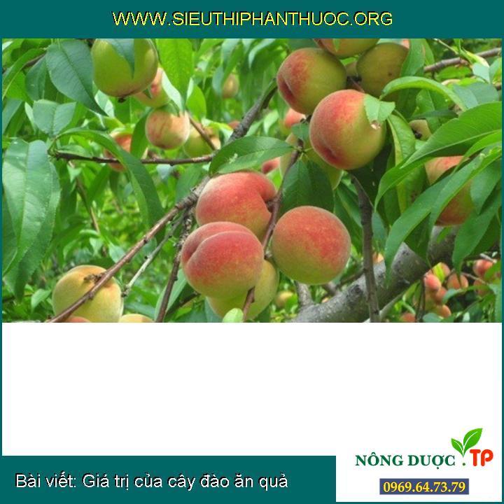 Giá trị của cây đào ăn quả