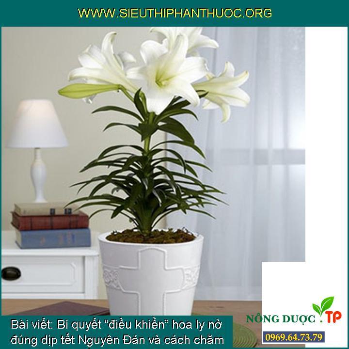 """Bí quyết """"điều khiển"""" hoa ly nở đúng dịp tết Nguyên Đán và cách chăm sóc cho hoa bền lâu hơn"""