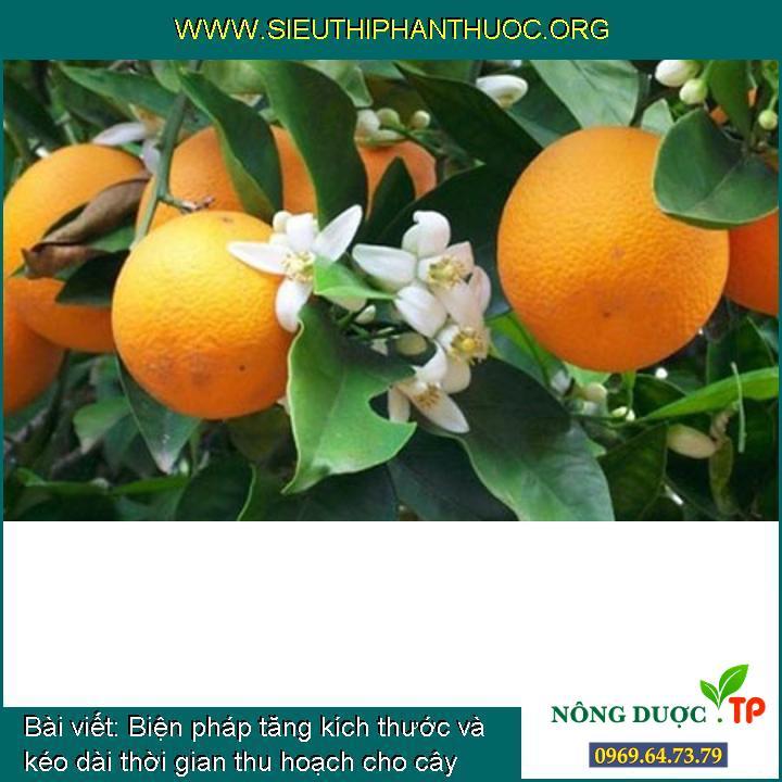 Biện pháp tăng kích thước và kéo dài thời gian thu hoạch cho cây cam đạt giá thành cao