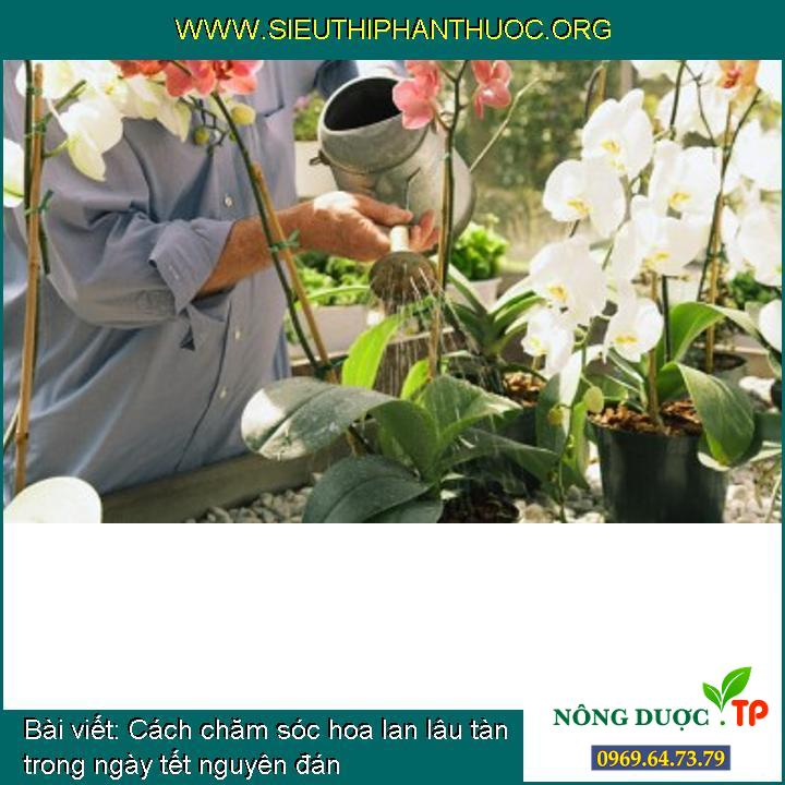 Cách chăm sóc hoa lan lâu tàn trong ngày tết nguyên đán