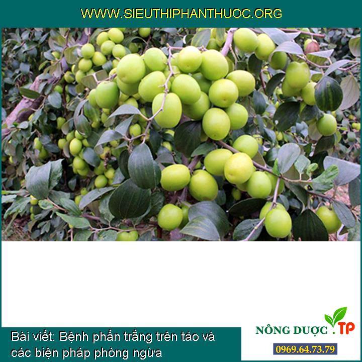Bệnh phấn trắng trên táo và các biện pháp phòng ngừa
