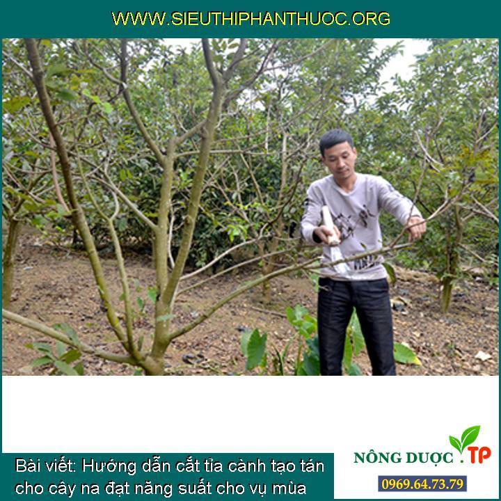 Hướng dẫn cắt tỉa cành tạo tán cho cây na đạt năng suất cho vụ mùa tới
