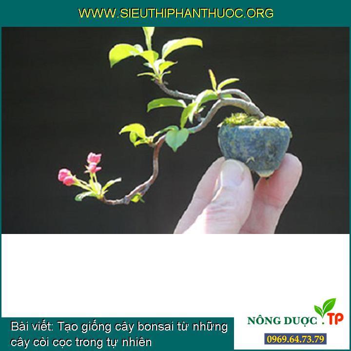 Tạo giống cây bonsai từ những cây còi cọc trong tự nhiên