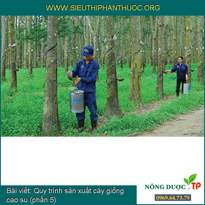 Quy trình sản xuất cây giống cao su (phần 5)