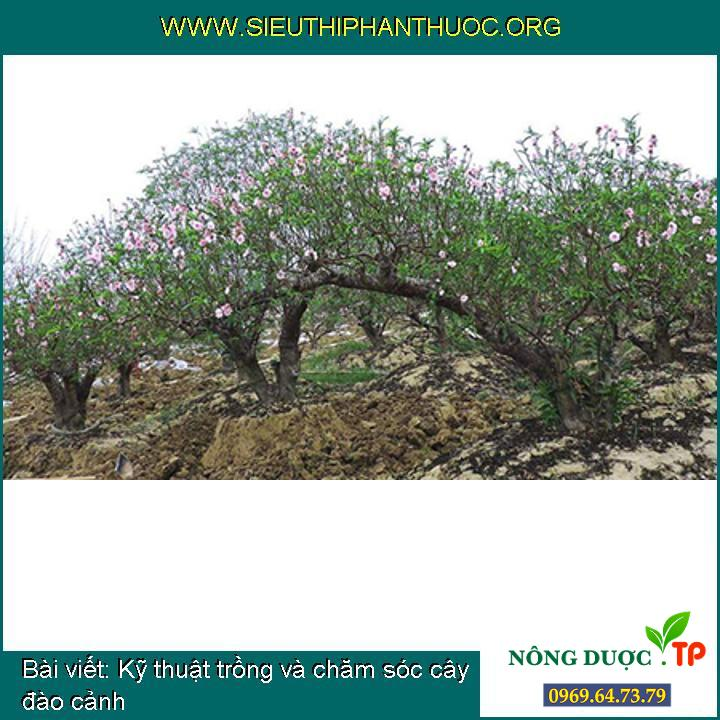 Kỹ thuật trồng và chăm sóc cây đào cảnh