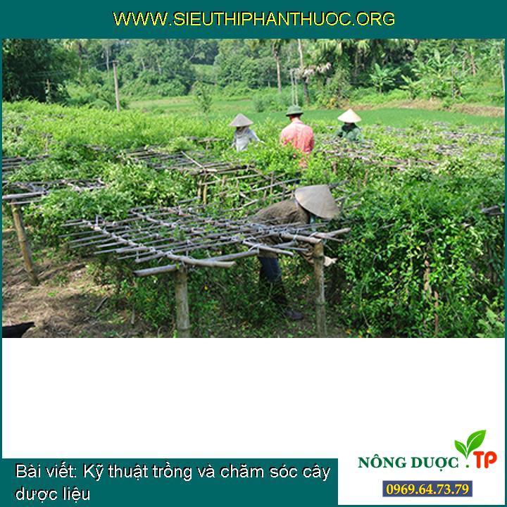 Kỹ thuật trồng và chăm sóc cây dược liệu