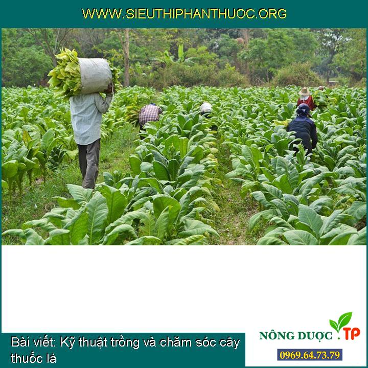 Kỹ thuật trồng và chăm sóc cây thuốc lá