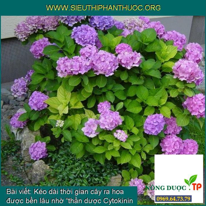 """Kéo dài thời gian cây ra hoa được bền lâu nhờ """"thần dược Cytokinin DA6"""""""