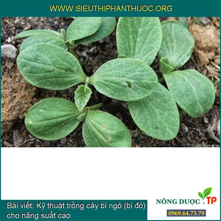 Kỹ thuật trồng cây bí ngô (bí đỏ) cho năng suất cao