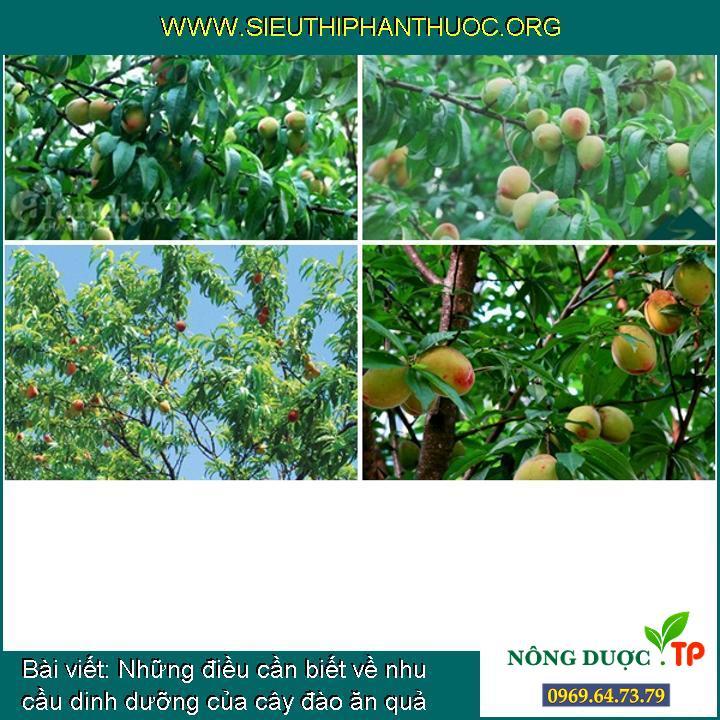 Những điều cần biết về nhu cầu dinh dưỡng của cây đào ăn quả