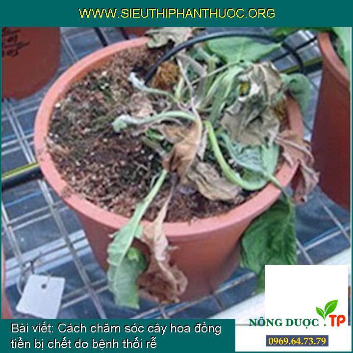 Cách chăm sóc cây hoa đồng tiền bị chết do bệnh thối rễ