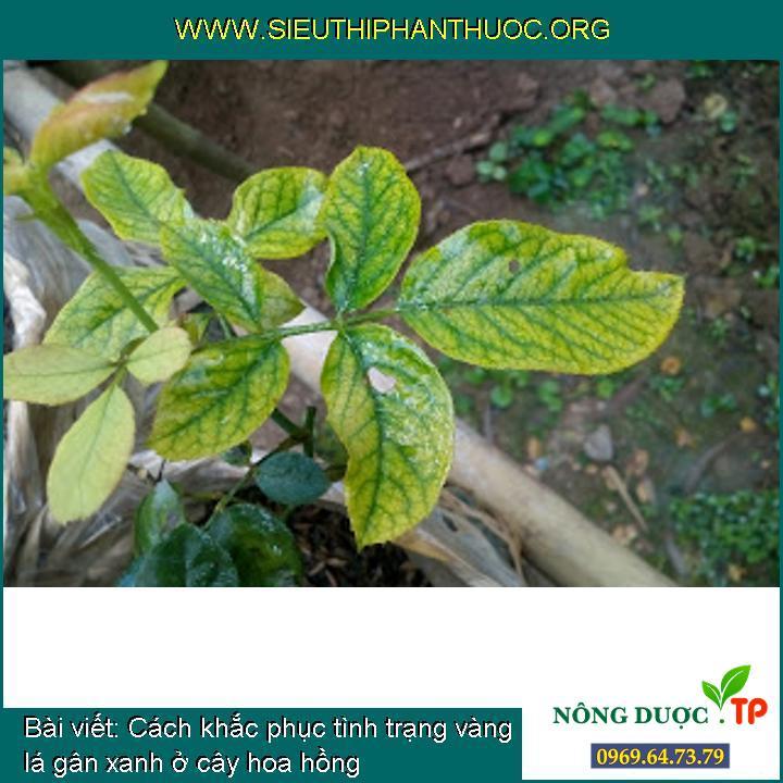 Cách khắc phục tình trạng vàng lá gân xanh ở cây hoa hồng