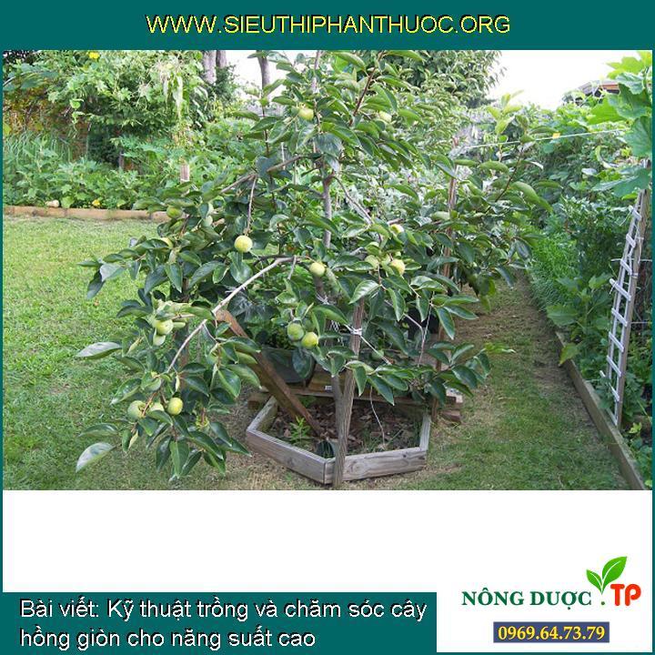 Kỹ thuật trồng và chăm sóc cây hồng giòn cho năng suất cao