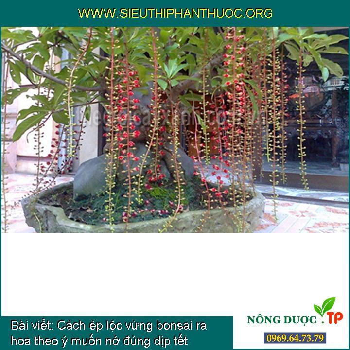 Cách ép lộc vừng bonsai ra hoa theo ý muốn nở đúng dịp tết