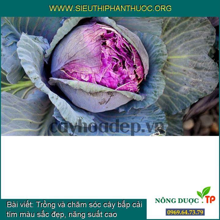 Trồng và chăm sóc cây bắp cải tím màu sắc đẹp, năng suất cao