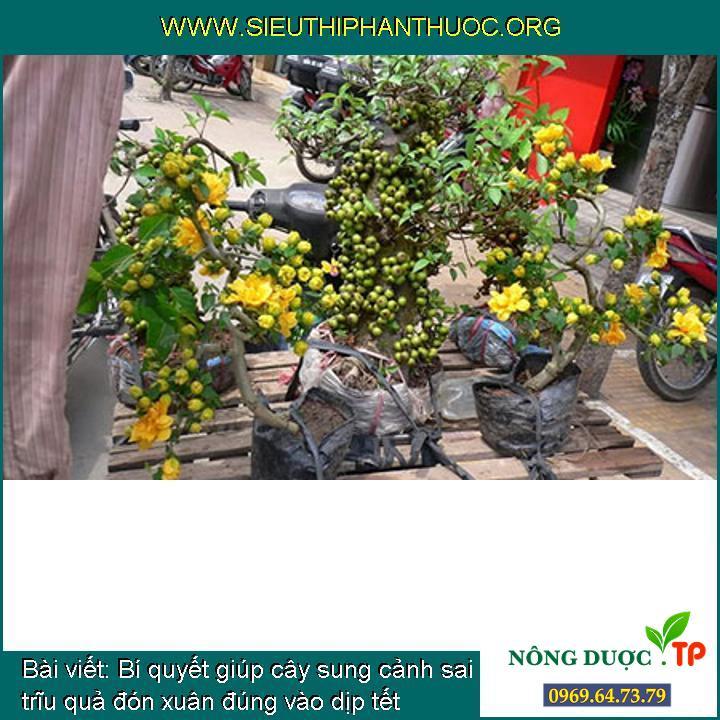 Bí quyết giúp cây sung cảnh sai trĩu quả đón xuân đúng vào dịp tết