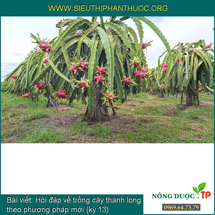 Hỏi đáp về trồng cây thanh long theo phương pháp mới (kỳ 13)