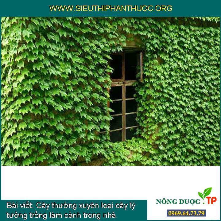 Cây thường xuyên loại cây lý tưởng trồng làm cảnh trong nhà