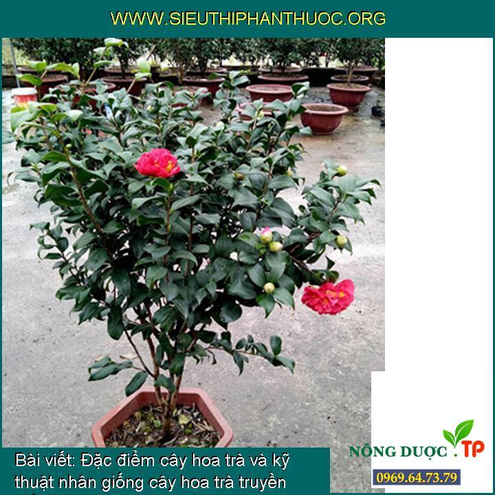 Đặc điểm cây hoa trà và kỹ thuật nhân giống cây hoa trà truyền thống