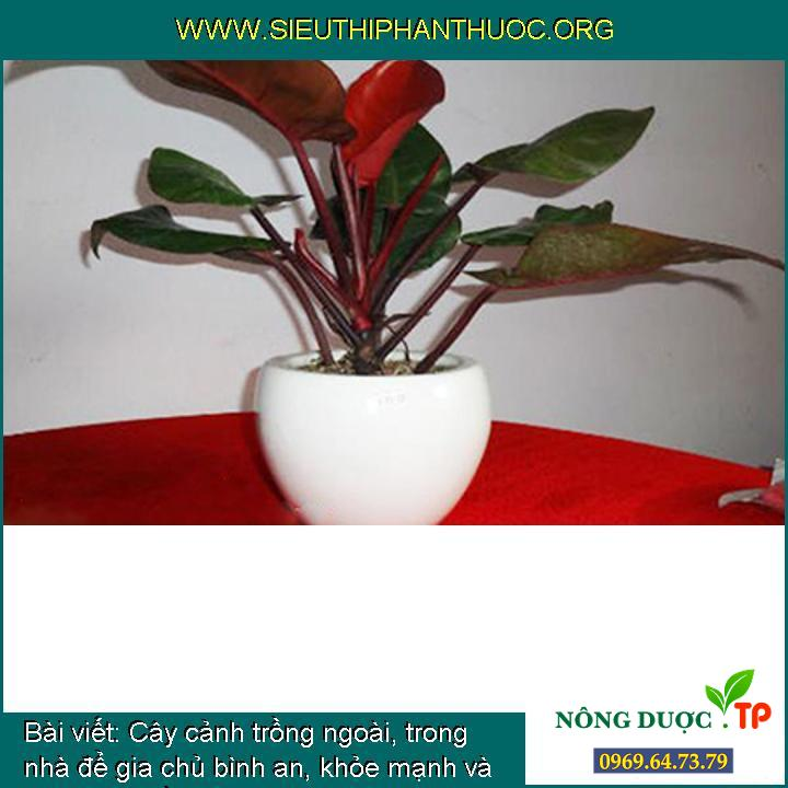 Cây cảnh trồng ngoài, trong nhà để gia chủ bình an, khỏe mạnh và phát tài (phần 2)