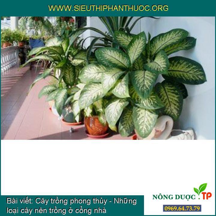 Cây trồng phong thủy - Những loại cây nên trồng ở cổng nhà