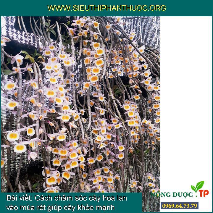 Cách chăm sóc cây hoa lan vào mùa rét giúp cây khỏe mạnh