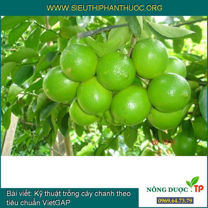 Kỹ thuật trồng cây chanh theo tiêu chuẩn VietGAP