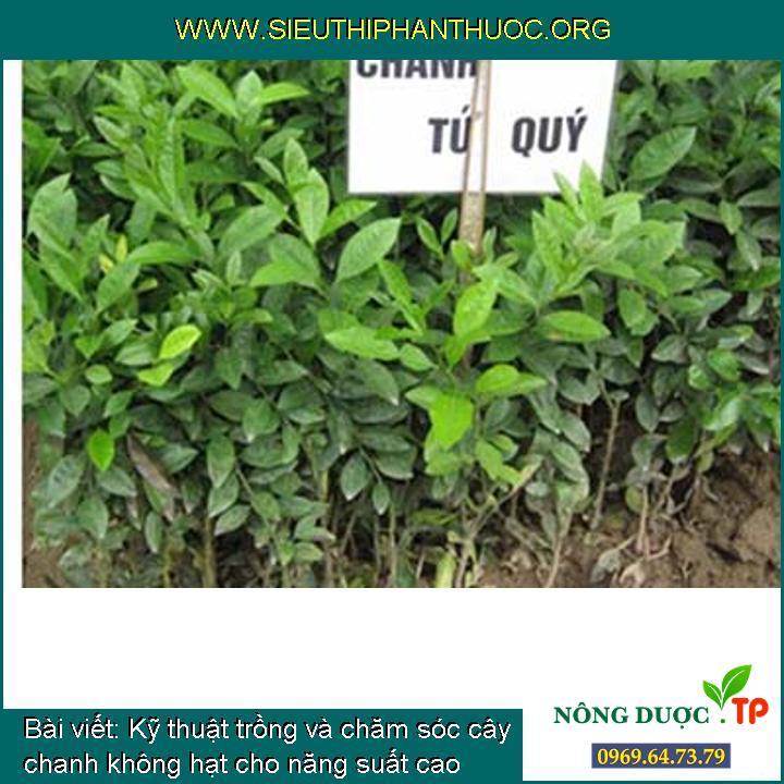 Kỹ thuật trồng và chăm sóc cây chanh không hạt cho năng suất cao