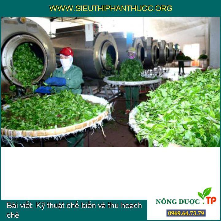 Kỹ thuật chế biến và thu hoạch chè