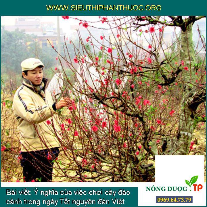 Ý nghĩa của việc chơi cây đào cảnh trong ngày Tết nguyên đán Việt Nam