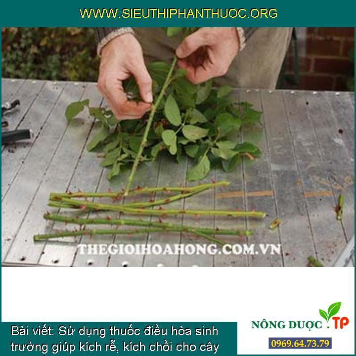 Sử dụng thuốc điều hòa sinh trưởng giúp kích rễ, kích chồi cho cây hoa hồng?
