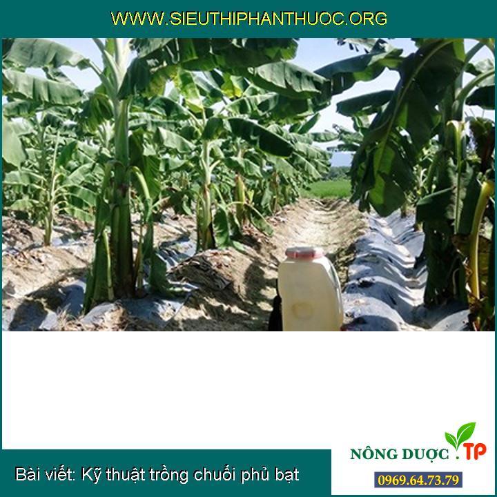 Kỹ thuật trồng chuối phủ bạt