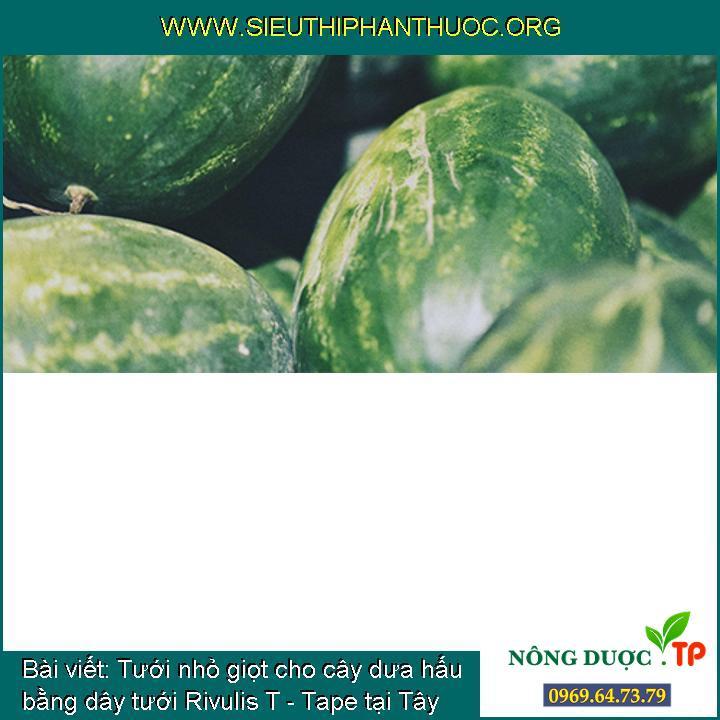 Tưới nhỏ giọt cho cây dưa hấu bằng dây tưới Rivulis T - Tape tại Tây Sơn, Bình Định