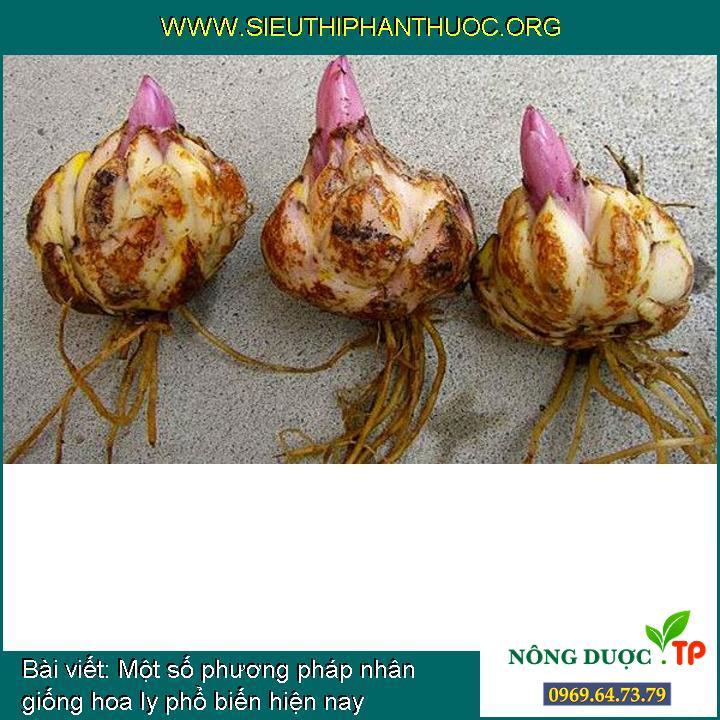 Một số phương pháp nhân giống hoa ly phổ biến hiện nay