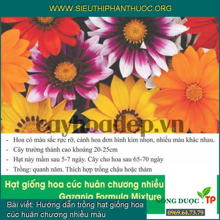 Hướng dẫn trồng hạt giống hoa cúc huân chương nhiều màu