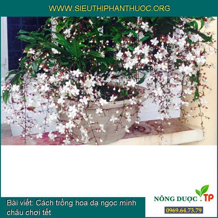 Cách trồng hoa dạ ngọc minh châu chơi tết