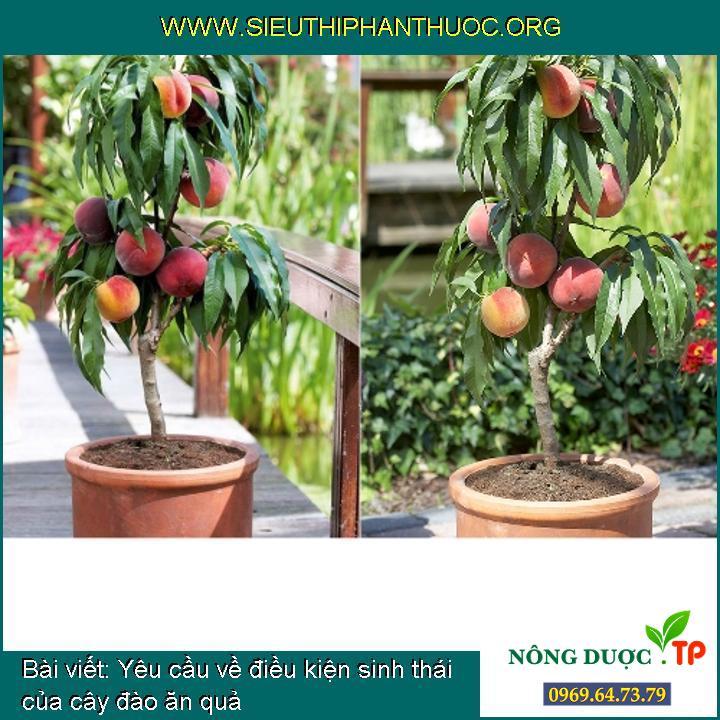 Yêu cầu về điều kiện sinh thái của cây đào ăn quả