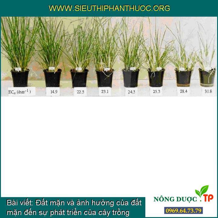 Đất mặn và ảnh hưởng của đất mặn đến sự phát triển của cây trồng