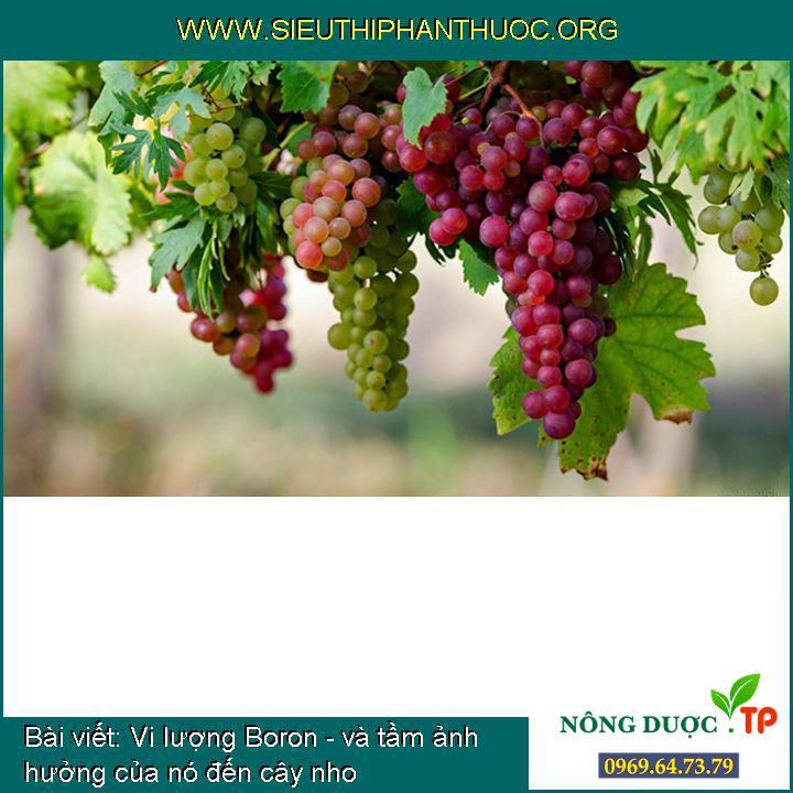 Vi lượng Boron - và tầm ảnh hưởng của nó đến cây nho