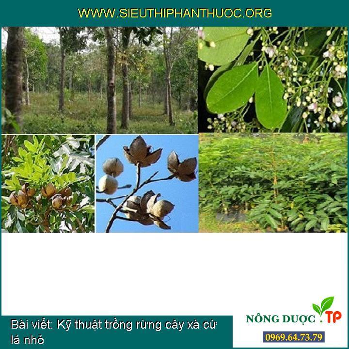 Kỹ thuật trồng rừng cây xà cừ lá nhỏ