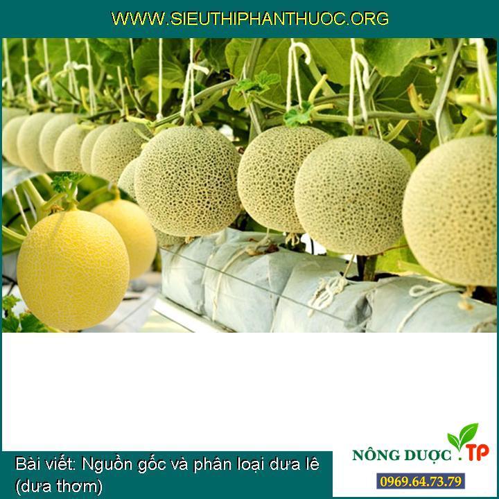 Nguồn gốc và phân loại dưa lê (dưa thơm)