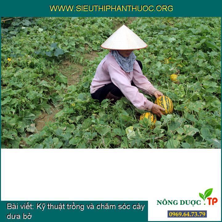 Kỹ thuật trồng và chăm sóc cây dưa bở