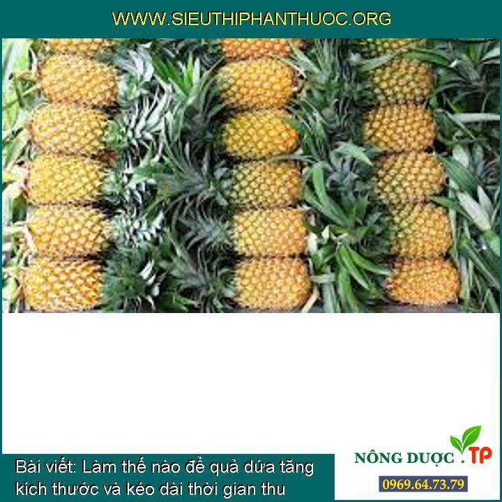 Làm thế nào để quả dứa tăng kích thước và kéo dài thời gian thu hoạch?