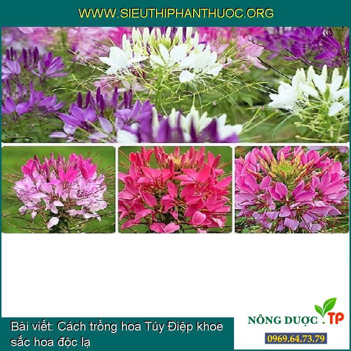 Cách trồng hoa Túy Điệp khoe sắc hoa độc lạ